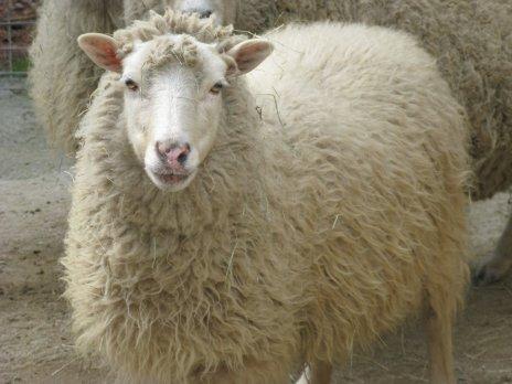 sheep+003