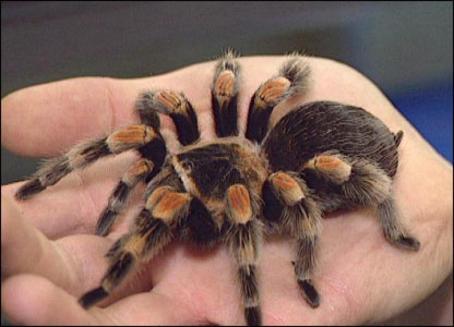 tarantula-big