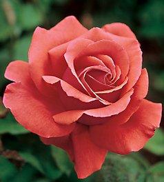 rose-little1
