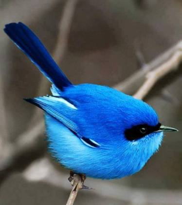 Fairy Blue Wren