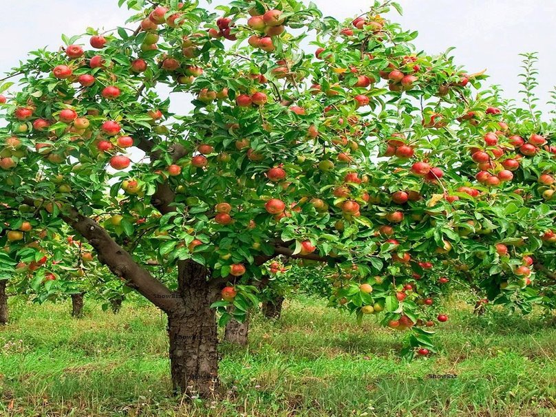 Floriography - Tree & Flower Symbolism  Apple-tree