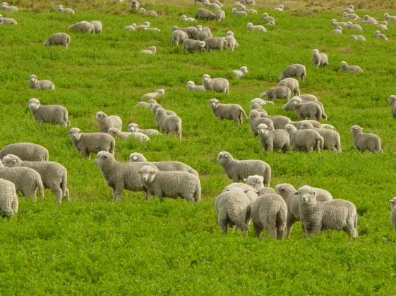 Corriedale_lambs_in_Tierra_del_Fuego